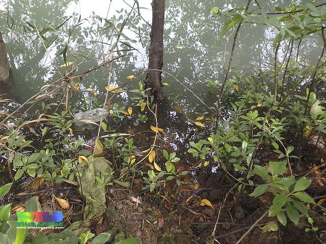 Bakau putih (Bruguiera cylindrica) seedlings in R.U.M. site 1