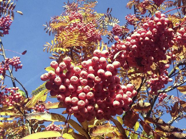 Pink Rowan berries