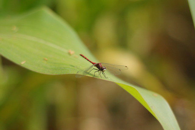 damsel fly in the corn maze