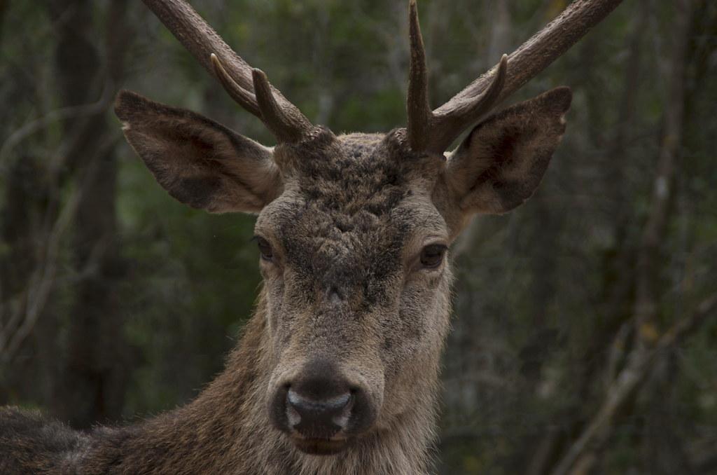 Retratro de un ciervo en Cazorla