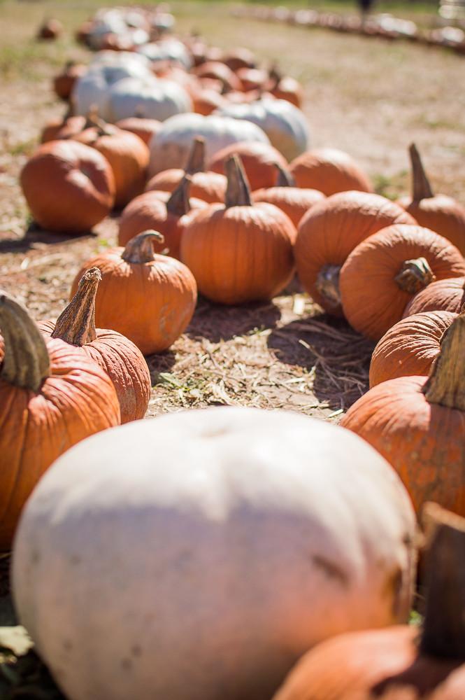 Pumpkin Picking at Preston Trail Farms, Gunter, Texas