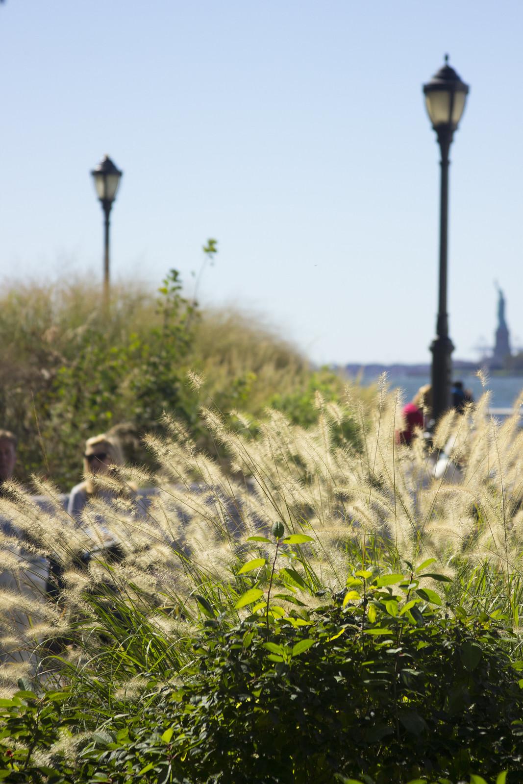 Battery Park Pennisetum