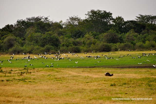 Flock of Birds at Minneriya National Park