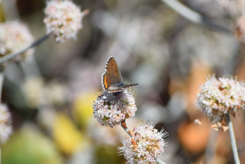 Brightly colored female Smith's blue butterfly at Salinas River National Wildlife Refuge