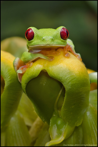 Red-eyed Tree Frog (Agalychnis calidryas) | by AnimalExplorer