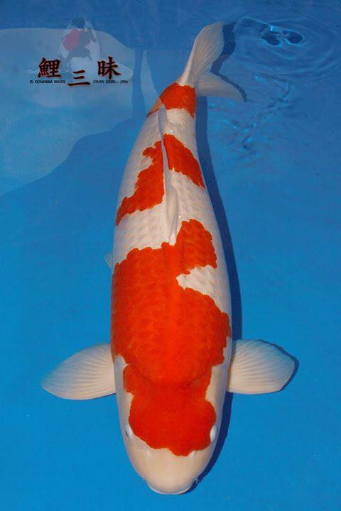 Grand Champion nagaoka Koi Show 2016