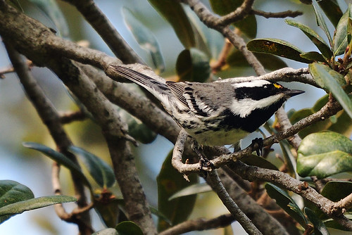 Evergreen Cemetery, FL: Black-throated Gray Warbler 1
