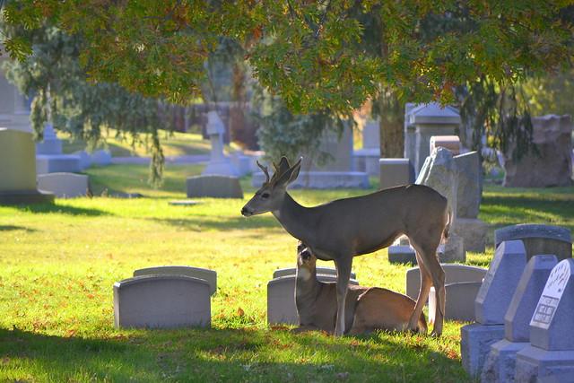 Deer at Fairmount Cemetery