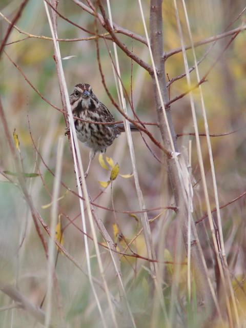 Song Sparrow 02-20161007