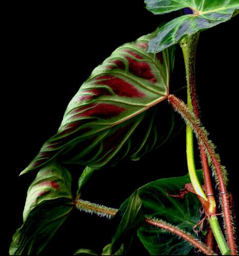 Philodendron verrucosum_back_steve