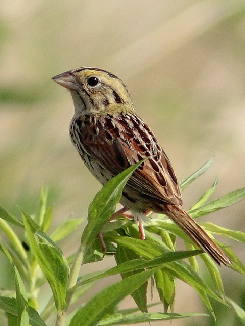 Henslows Sparrow crop 20120620
