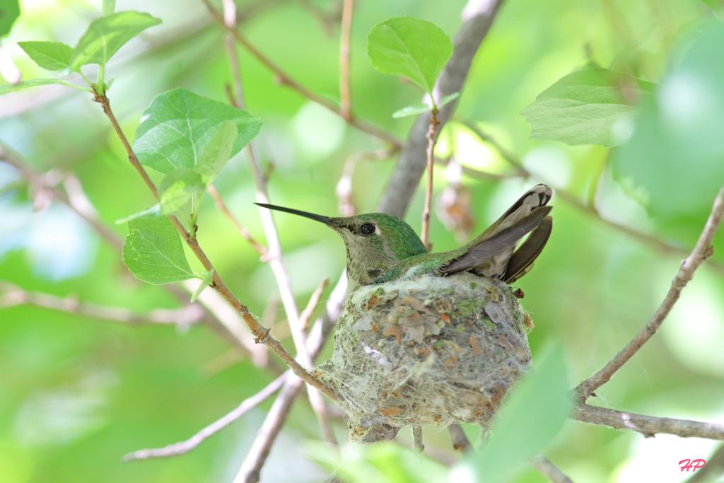 Anna's-Hummingbird-nest-201505 (Date Taken 05/2015)