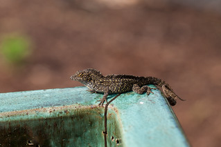 Brown Anole | by cordesj