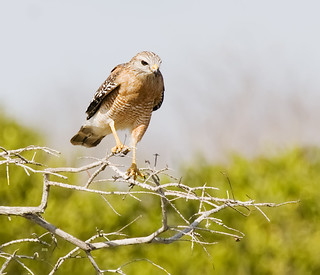 Red-shouldered Hawk Buteo lineatus eg-sv-np_8376 | by Alice & Seig