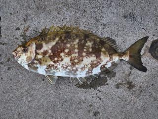 scrawled cowfish