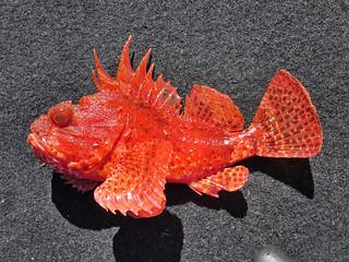 freshwater butterflyfish