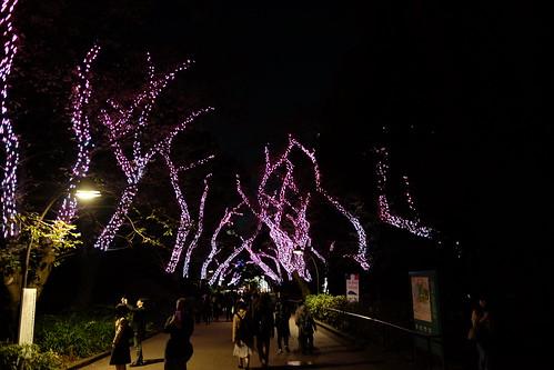 winter sakura illumination