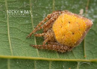 Orb Web Spider (Eriovixia laglaizei) - DSC_1363