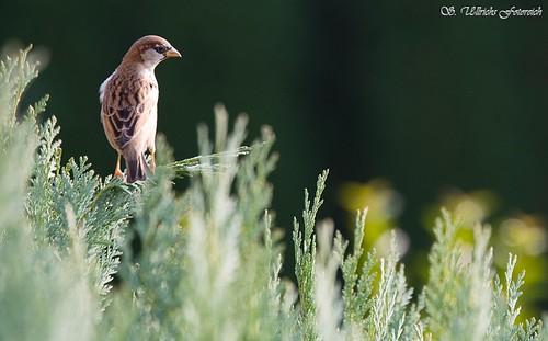 Es vögelt in meinem Garten! - Seite 2 30655090970_7d756e0ed1