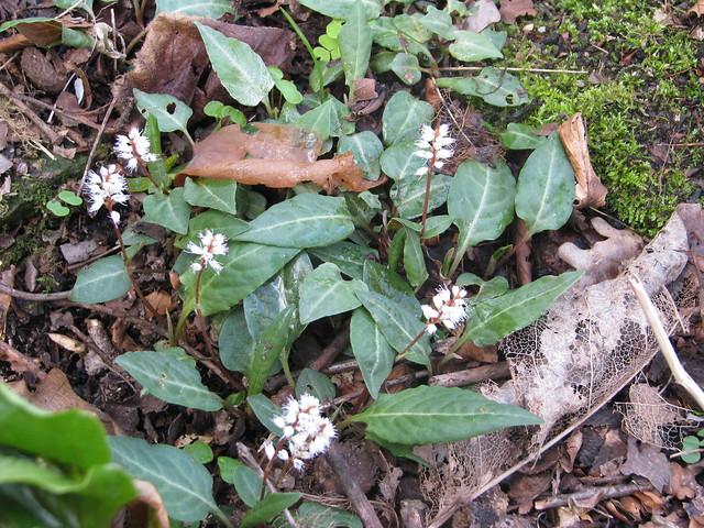 Persicaria tenuicaulis