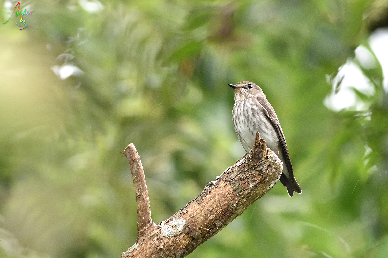 Grey-streaked_Flycatcher_6395