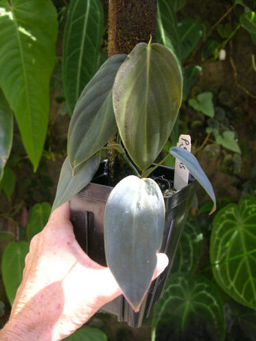 Philodendron gigas_juvenile_enid