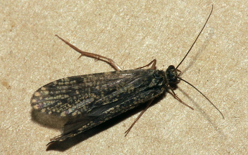 Polycentropus irroratus 6641