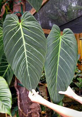 Philodendron gigas_mature_enid