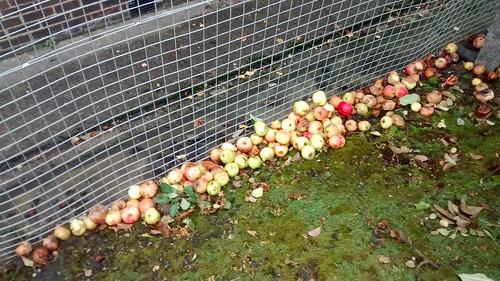 apples Oct 16 2