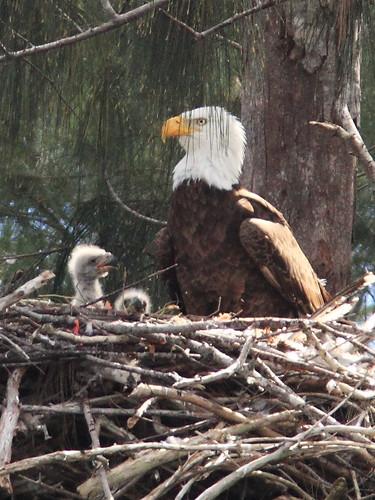 Bald Eagle male with 2 eaglets 2-20140126