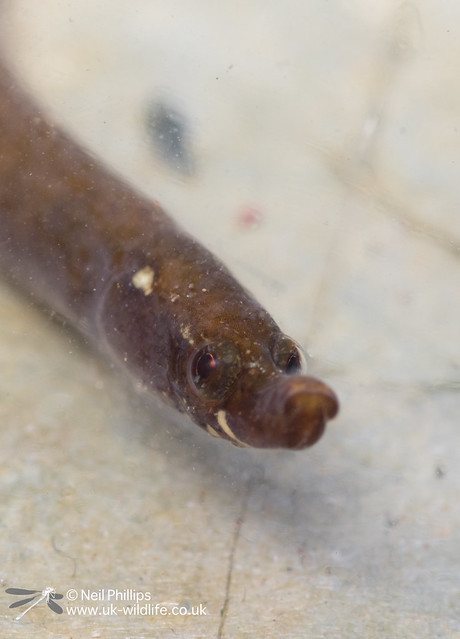 Worm pipefish on West Looe in photo aquarium