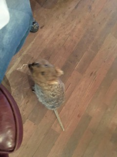 Quokka in a restaurant