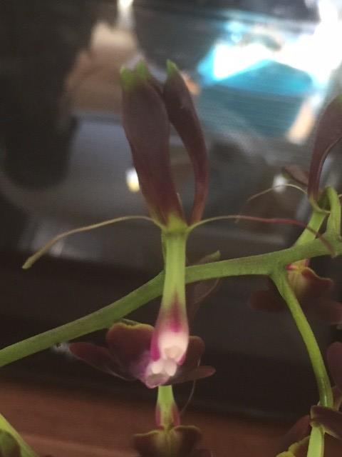 Epidendrum melanoporphyreum 31069796146_7247ba237b_z