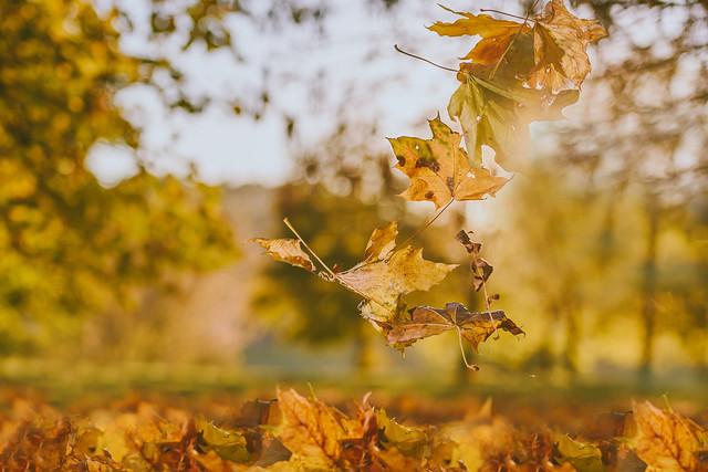Leaves   Autumn 2016