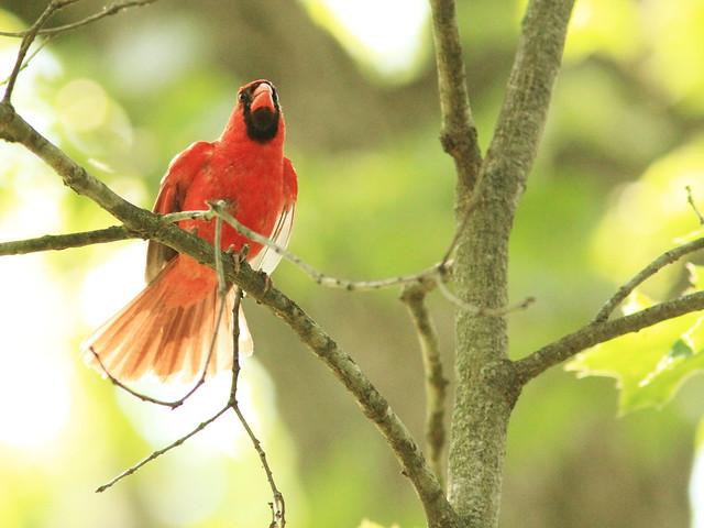 Northern Cardinal 20130814