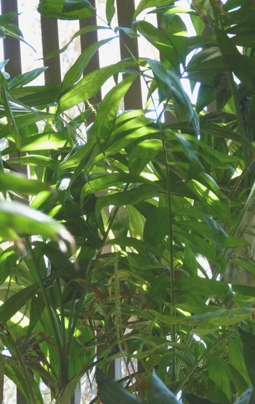 Chamaedorea arenbergiana 29871540170_744f1ffc07_o