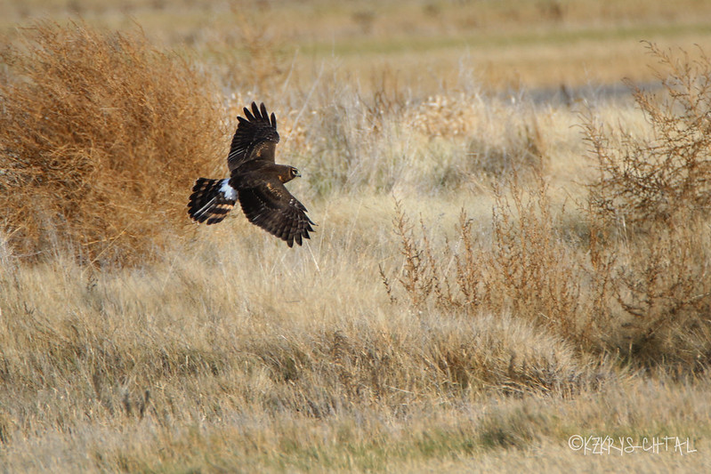 IMG_7627NorthernHarrier