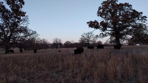 Bison, Woolaroc, Bartlesville, OK