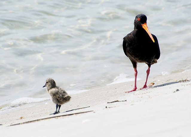 Variable Oystercatcher with chick.