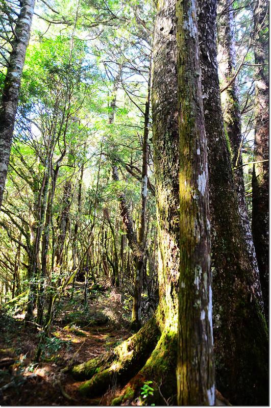 雪白山登山步道巨木
