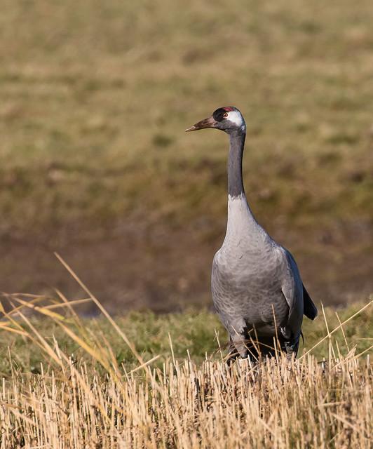 Common Crane 071__352