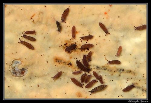 Ceratophysella denticulata