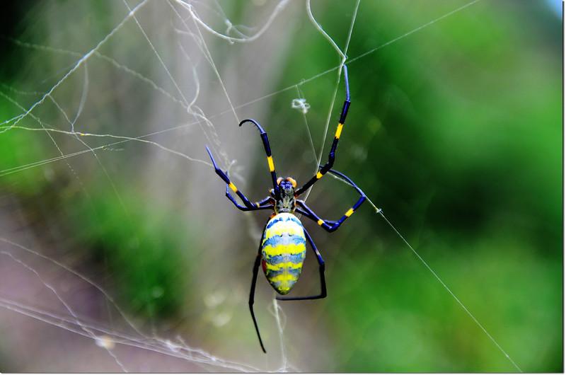 鬼臉蜘蛛 1