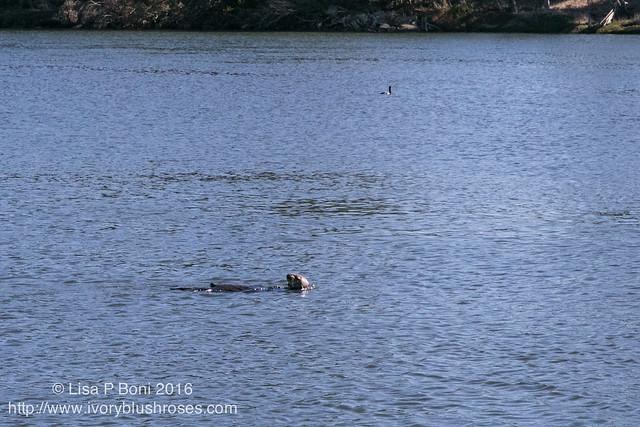 Sea Otter, Moss Landing, CA