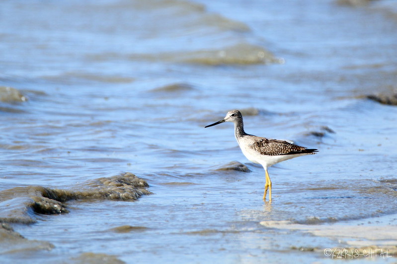 IMG_7332GreaterYellowlegs