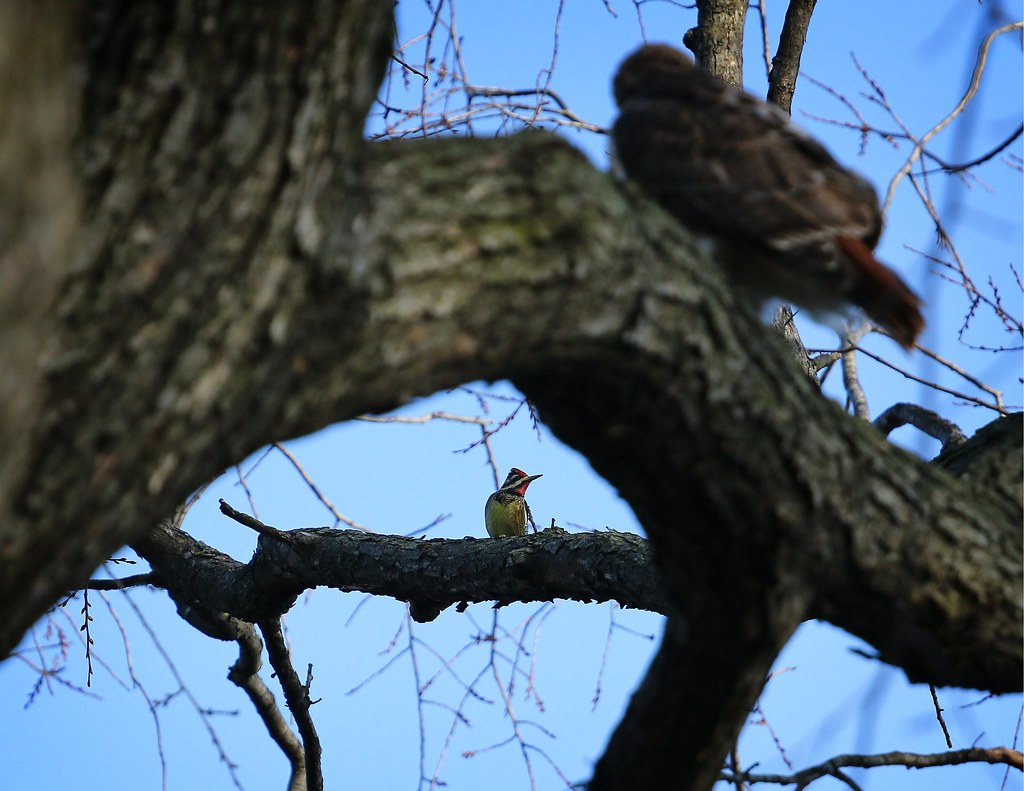 Yellow-bellied sapsucker stares down red-tailed hawk
