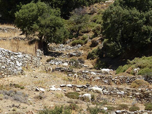 les chèvres de la campagne, Naxos