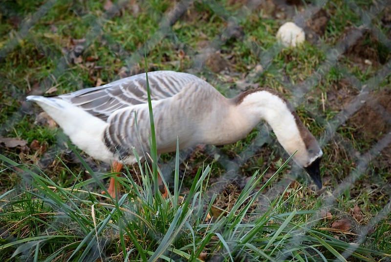 Geese 27.11 (1)