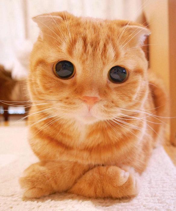 Шотландский вислоухий котёнок по кличке Мута - ПоЗиТиФфЧиК - сайт позитивного настроения!