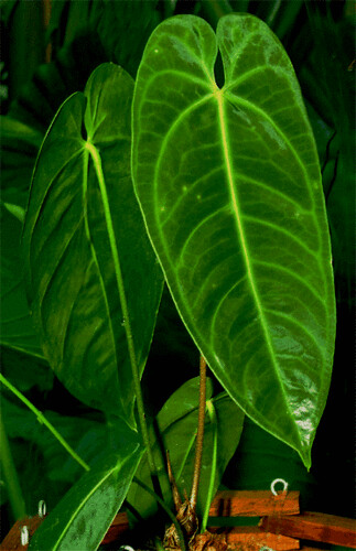 Anthurium marmoratum-blade-tight